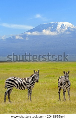 Zebra on the background of Mount Kilimanjaro in the national reserve - stock photo
