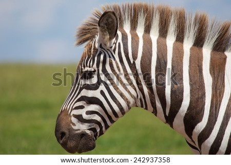 Zebra Out In The Wild In South Africa - stock photo