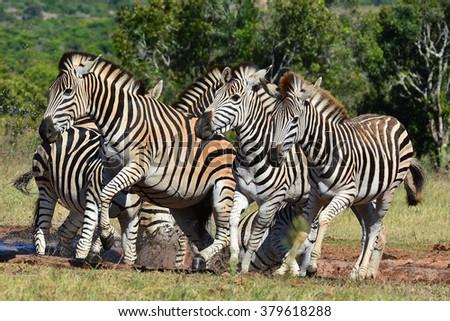 Zebra playing - stock photo