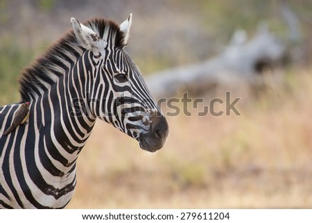 Zebra portrait in a colour photo with heads close-up - stock photo