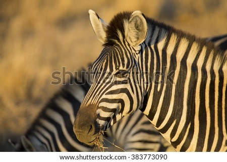 Zebra portrait in a colour photo with heads close-up