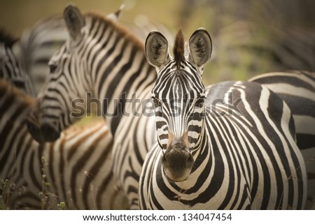 Zebra portrait in color - stock photo