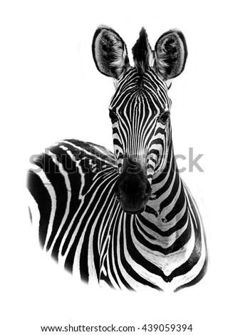 Zebra portrait in high key - stock photo
