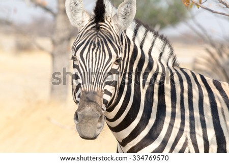Zebra Portrait. Seen and shot on self drive safari tour through national parks in namibia, africa.