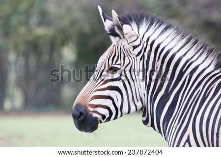 Zebra portrait showing it's distinctive black and white coat - stock photo