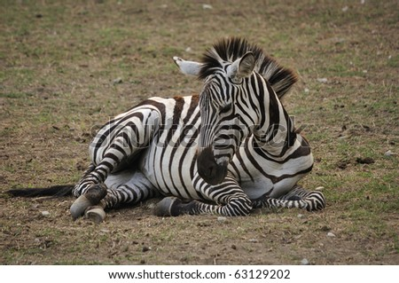 Zebra resting at afternoon - stock photo