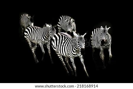Zebra running - stock photo