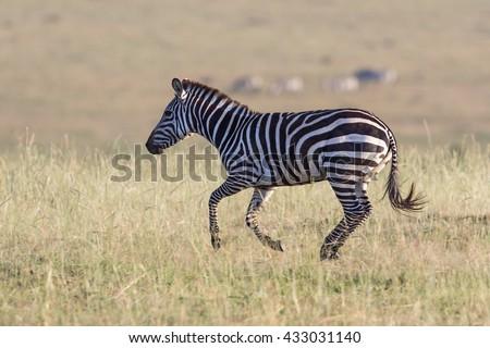 Zebra running in the grass on the savannah - stock photo