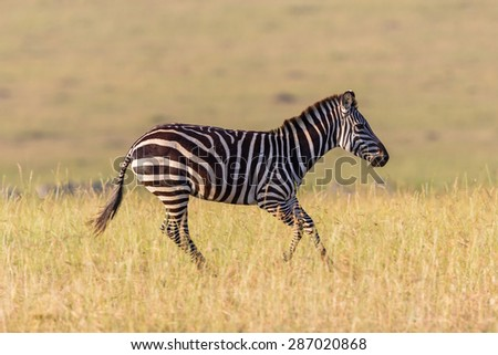 Zebra running in the grass on the savannah in Africa - stock photo