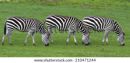 zebra' s grazing on grass in Africa - stock photo
