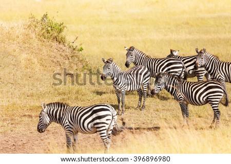 Zebra's grazing on grassland in Amboseli, Africa - stock photo