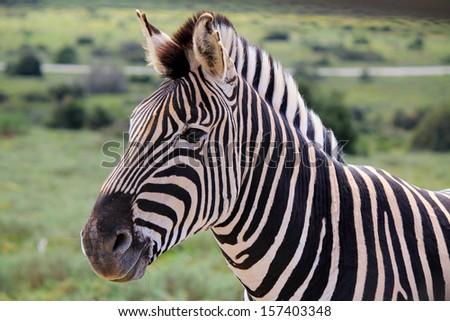 Zebra's head  - stock photo