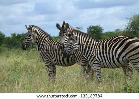 Zebra's 3 in a row causing a striped pattern - stock photo