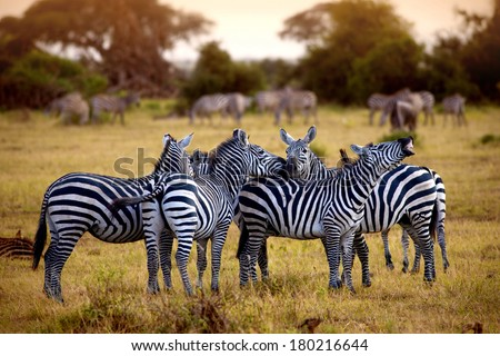 zebra's in africa walking on the savannah  - stock photo