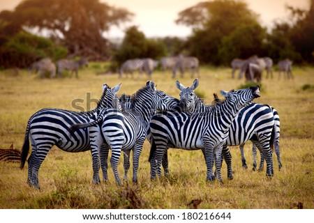 zebra's in africa walking on the savannah  - stock photo
