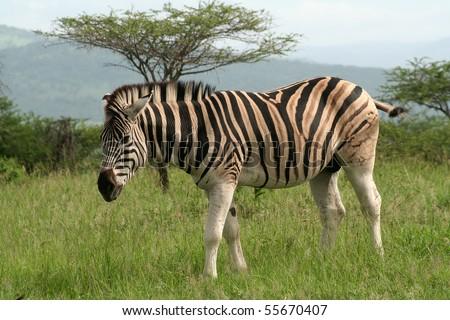 Zebra, South Africa - stock photo