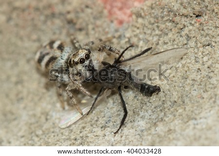 Zebra spider (Salticus scenicus) sucking the life out of its Housefly prey. - stock photo