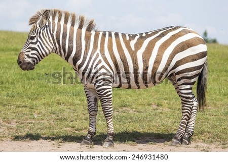 Zebra spotted in the wild in Africa - stock photo