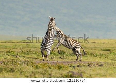 Zebra stallions fighting at Ngorongoro Crater in Tanzania - stock photo