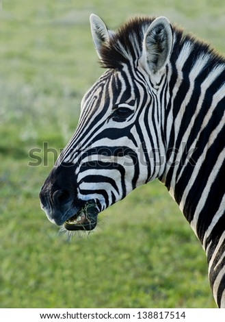 Zebra standing and eating some grass with its head upright - stock photo