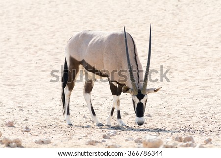 Zebra standing in grass land. Seen and shot on self drive safari tour through national parks in namibia, africa. - stock photo