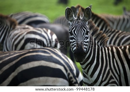 Zebra Stares at Photographer on Serengeti Tanzania East Africa - stock photo