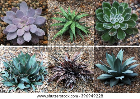 Zebra striped Aloe and Succulent Collection - stock photo