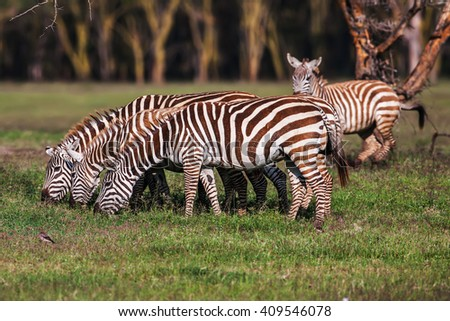 Zebra was eating grass as its food on the dry brown savannah grasslands  - stock photo