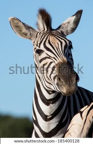 Zebra wild animal with stripes and alert ears - stock photo