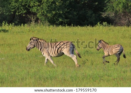 Zebra - Wildlife Background from Africa - Peace of Summer - stock photo