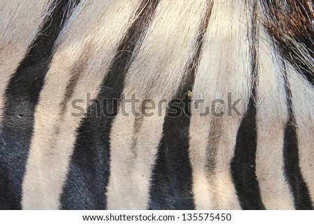 Zebra - Wildlife from Africa - Unique Patterns of a live animal's upper neck, showing how the stripes become narrow and sharp towards the mane.