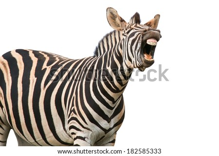 Zebra with a funny expression so that he looks like he is talking of laughing