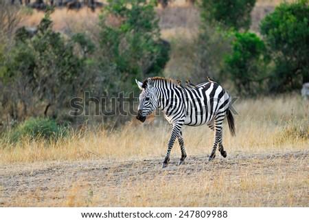 Zebra with birds on her back, Masai Mara, Kenya - stock photo