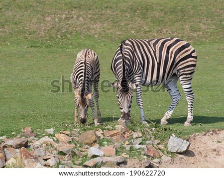 Zebra with foal is pasturing on meadow