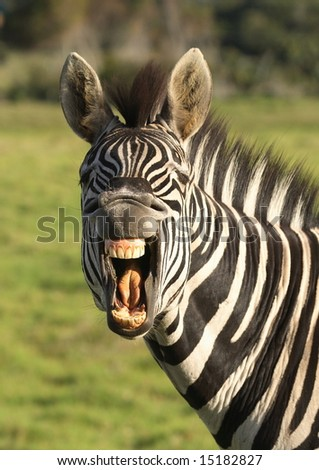 Zebra with open mouth showing its teeth - stock photo