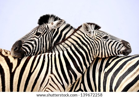 zebra,, zebra's in love, hugging zebra's namibia, national park - stock photo