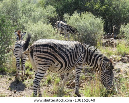 Zebras. - stock photo