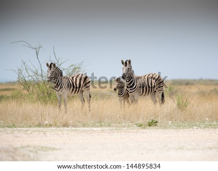 Zebras and baby Two adult zebras with a young baby between them - stock photo