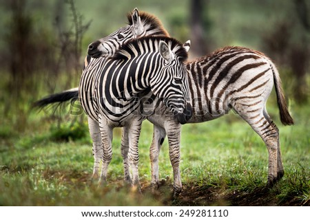Zebras and feelings - stock photo