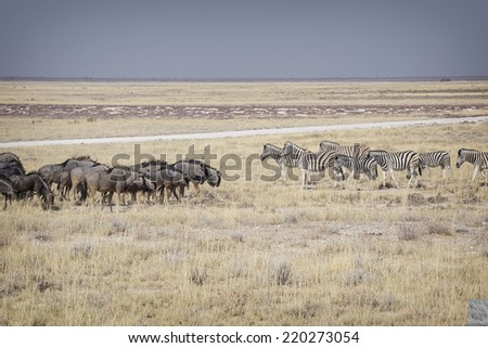 Zebras and wildebeests meeting - stock photo
