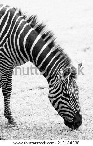 Zebras are several species of African equids (horse family) united by their distinctive black and white stripes. Their stripes come in different patterns, unique to each individual. Side view. - stock photo