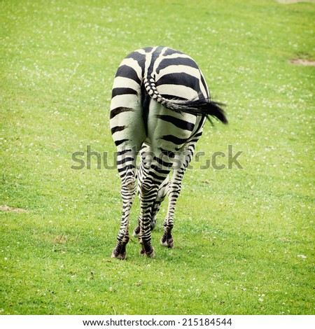Zebras are several species of African equids (horse family) united by their distinctive black and white stripes. Their stripes come in different patterns, unique to each individual. - stock photo