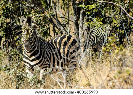 Zebras at a South African game reserve.  - stock photo