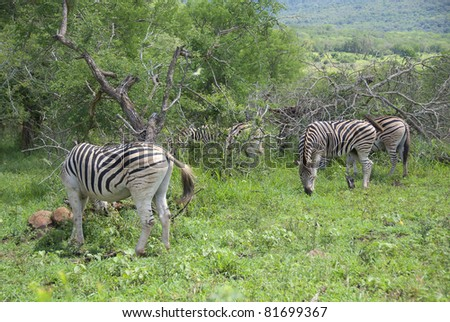 Zebras at Hluhluwe-Umfolozi Game Reserve, located 280 km north of Durban, is the oldest proclaimed park in Africa. In central Zululand, KwaZulu-Natal, South Africa and is known for its rich wildlife