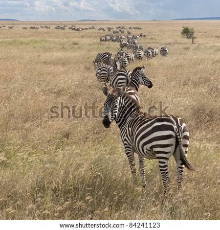 Zebras at the Serengeti National Park, Tanzania, Africa - stock photo