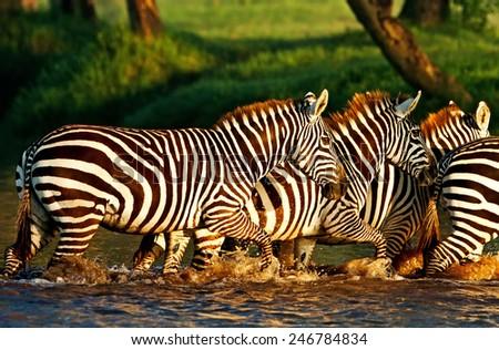 Zebras crossing a river in the Lake Nakuru National Park, Kenya - stock photo