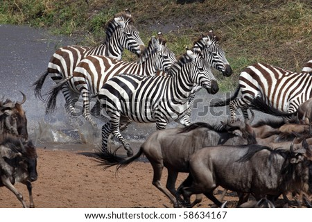 Zebras crossing the Mara River during the migration, Serengeti, Tanzania