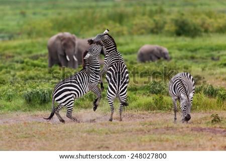 Zebras fighting in Amboseli National Park, Kenya - stock photo
