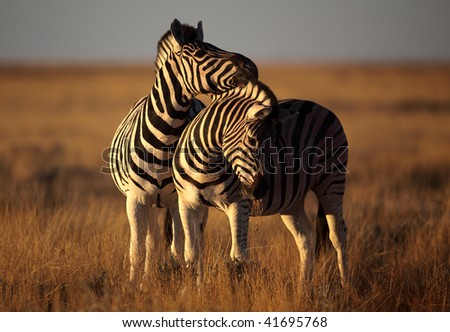Zebras fooling around in late afternoon light, Etosha NP, Namibia