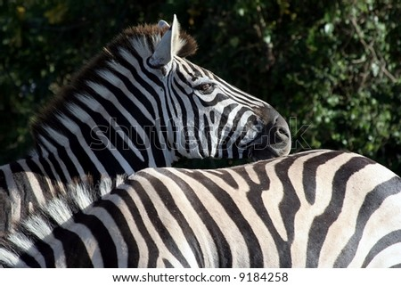 Zebras from Africa interacting with each other